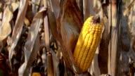 Golden Corncob video