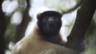 Golden Crowned Sifaka among the treetops video