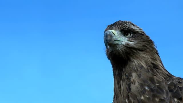 Golden Eagle Aquila Chrysaetos close up. video