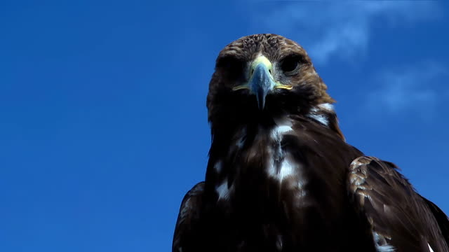 Golden Eagle Aquila Chrysaetos observes you. video