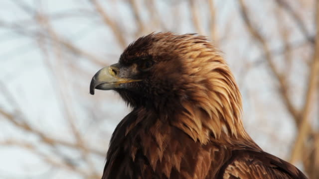 Golden eagle on the watch video