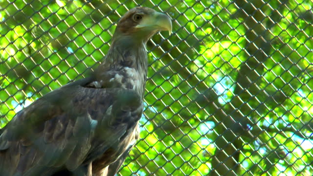 Golden eagle sits in a cage video