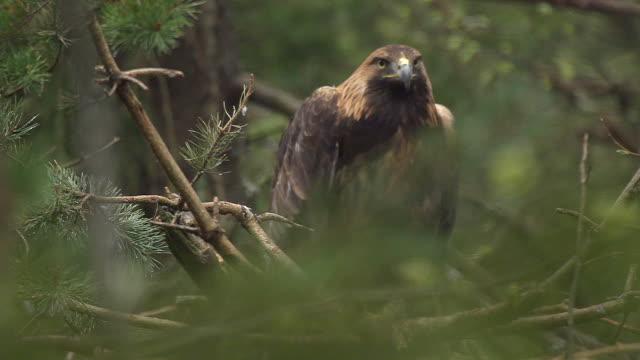 golden eagle video