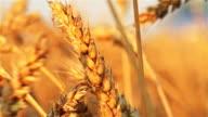 Golden ear of wheat swinging in the wind video