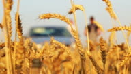 Golden ears of wheat and a farmer video