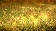 HD: Golden Field - Abstract Concept video