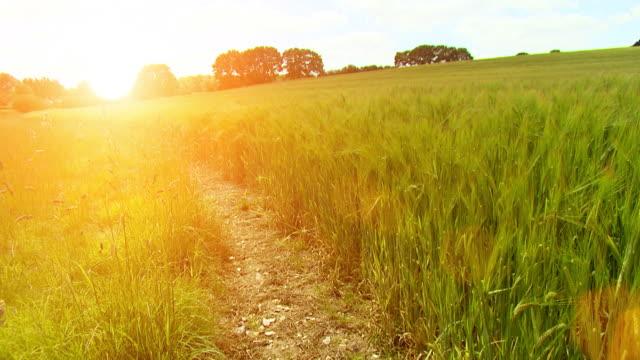 Golden fields at dusk HD video