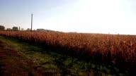 golden fields of corn video