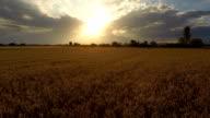 Golden fields video