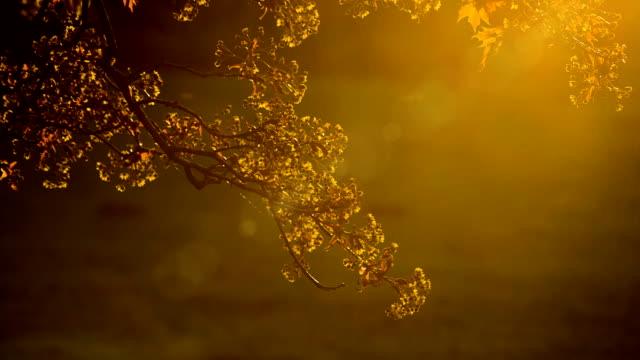 Golden foliage of tree on background of sunbeam video