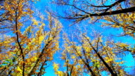 Golden ginkgo tree in blue sky, arrow town, new zealand video