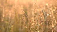 Golden Grass After Rain video