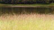 Golden grass video