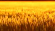 Golden Kansas Wheat Rack Focus video