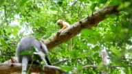 Golden monkey play with mom video