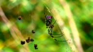 Golden Orb Weaver Spider and lunch video