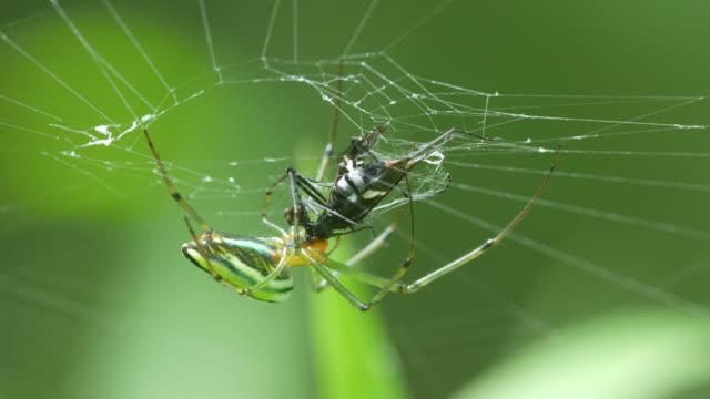 golden orb weaver spider eating prey video