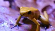 Golden Poison Arrow Frog video