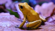Golden Poison Dart Amphibian Frog video