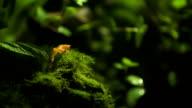 Golden Poison Dart Frog (Phyllobates terribilis) Climbing. video