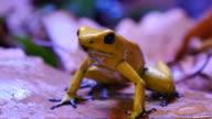 Golden Poison Dart Frog video