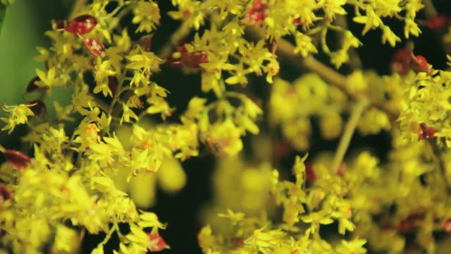 Golden Raintree in Bloom video