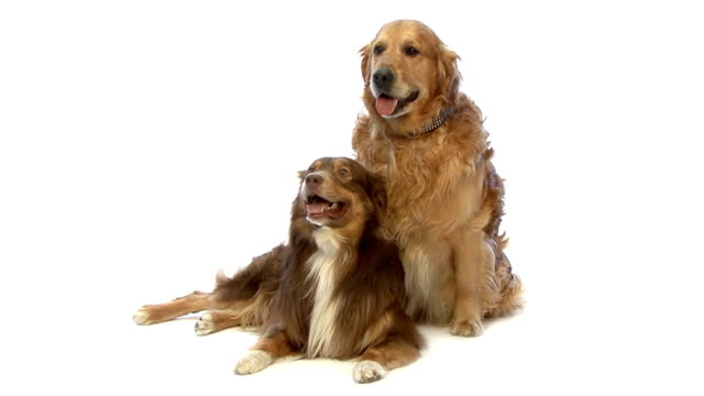 Golden Retriever and mixed Mixed-Breed Dog panting video