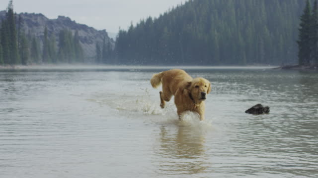 Golden Retriever dog fetching a stick in water video