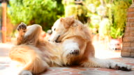 Golden Retriever Dog Scratching His Itchy Skin video