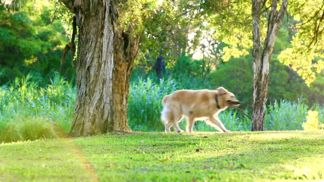 Golden retriever having fun fetching a stick in the park video