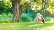 Golden retriever having fun fetching a stick in the park video