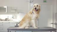 Golden Retriever In The Animal Hospital video