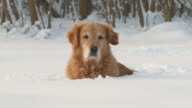 HD DOLLY: Golden Retriever Lying In The Snow video