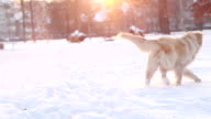Golden Retriever playing in snow video