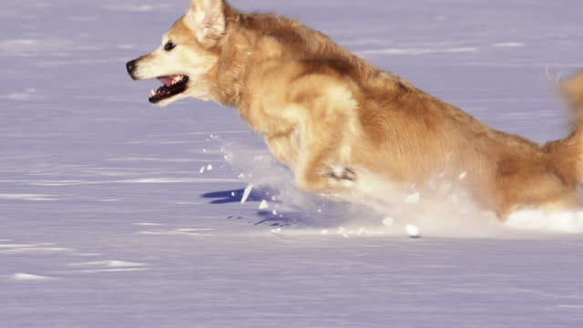 Golden Retriever plays in the snow video