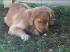 Golden Retriever puppy chewing video