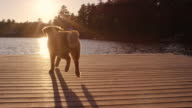 Golden retriever running and jumping off boat dock into water video