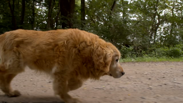 MS Golden Retriever Running On Dirt Road video