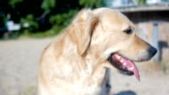 Golden retriever sitting and looking around video
