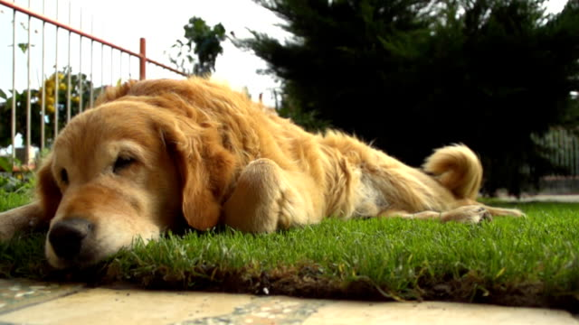 HD SUPER SLOW-MO: Golden Retriever Sleeping In Grass video