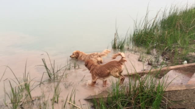 Golden Retriever swim in river video