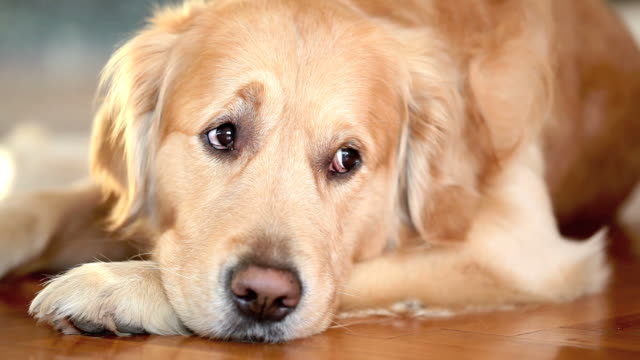 Golden Retriever video