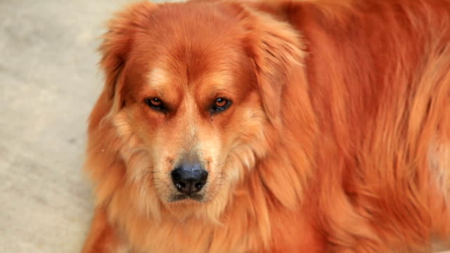 Golden Retriver mix dog lying down. Looking at camera. video