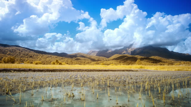 Golden rice paddy field video