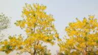 Golden Shower Flower in the wind (Cassia fistula flower) video