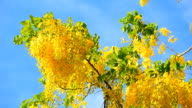 Golden shower flower on blue sky video