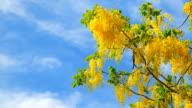 Golden shower flower on blue sky video
