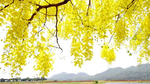 Golden Shower Tree video