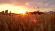 CLOSE UP: Golden sun shining through dry yellow wheat ear on agricultural field video