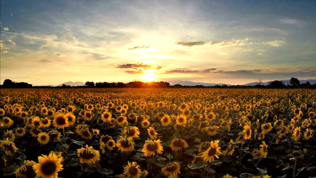 Golden sunflowers video